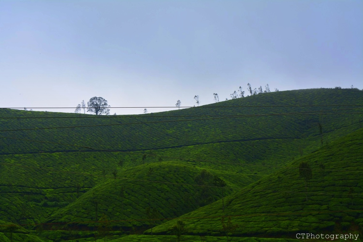 tea plantations at munnar kerala
