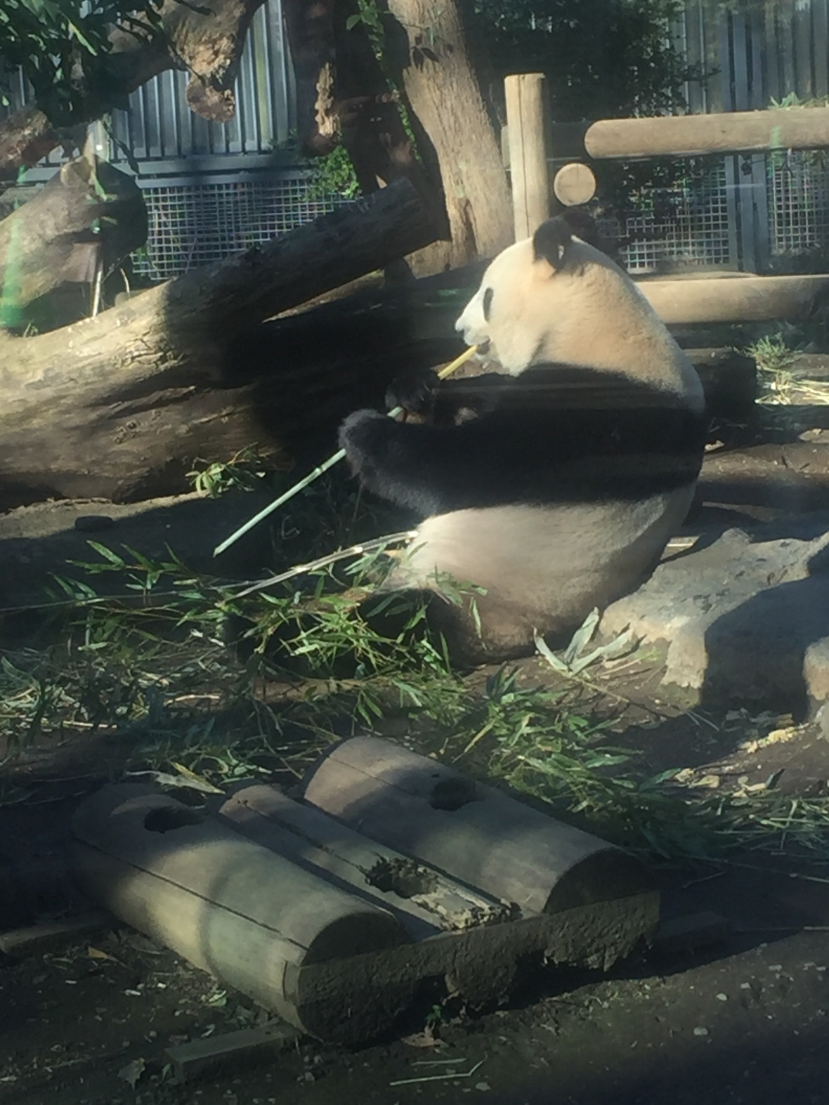 Panda at Ueno Zoo